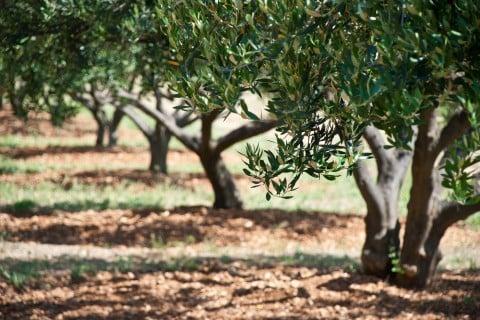 オリーブ 木