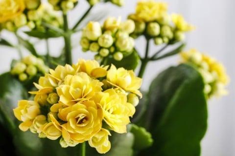 カランコエ 黄色 多肉 植物 鉢 多肉植物