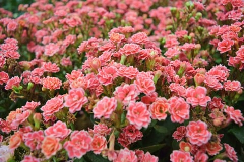 カランコエ ピンク いっぱい 多肉植物 多肉 植物 鉢