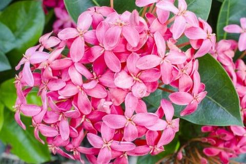 花 ピンク ペンタス