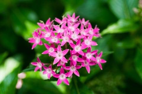 花 ペンタス