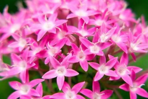夏の花ペンタス