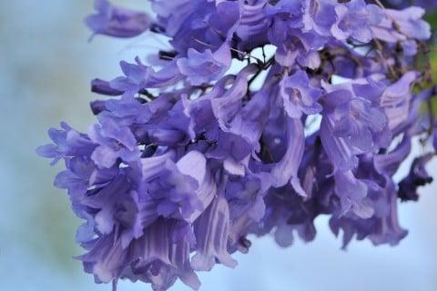 ジャカランダ 花 枝