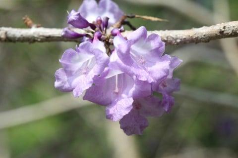 ジャカランダ 花