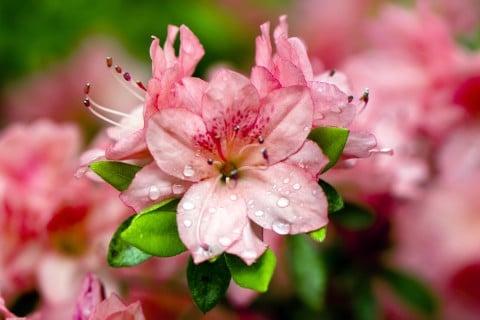 ピンク ツツジ 水