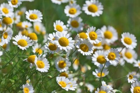 カモミール 花 いっぱい