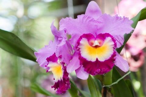 カトレア 紫