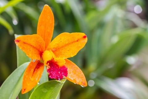カトレア オレンジ