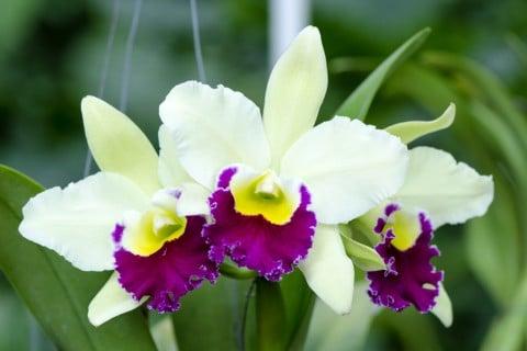 カトレア 白 紫