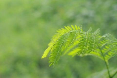 葉 オジギソウ