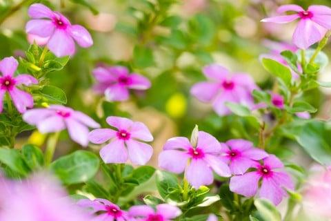 ニチニチソウ 薄紫