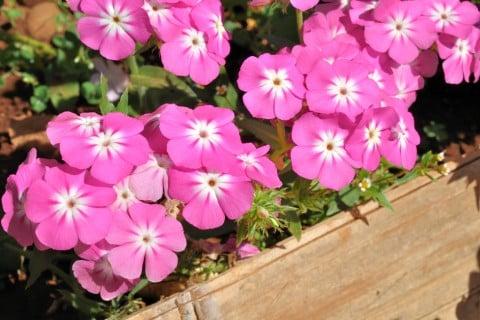 ニチニチソウ 花壇 プランター