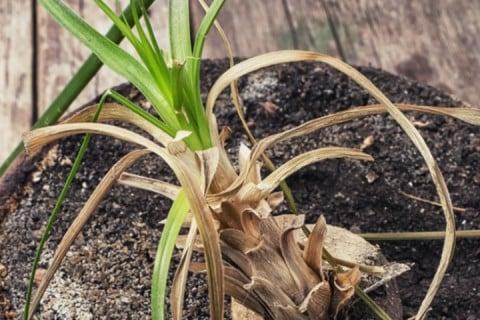 観葉植物 枯れる