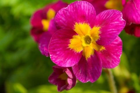 プリムラ 花 アップ