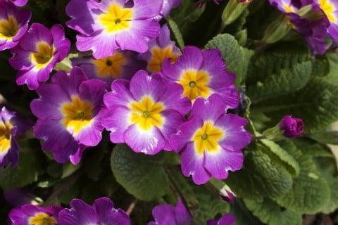 プリムラ 紫