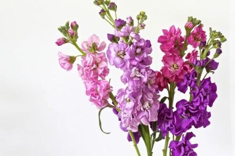 ストック 切り花