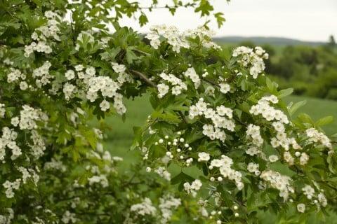 サンザシ 花 白 庭木