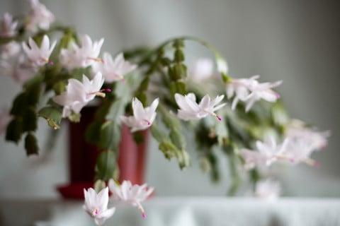 シャコバサボテン 白 多肉 植物 多肉植物 仙人掌 花