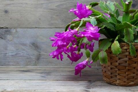 シャコバサボテン 鉢 多肉 植物 多肉植物 仙人掌 花