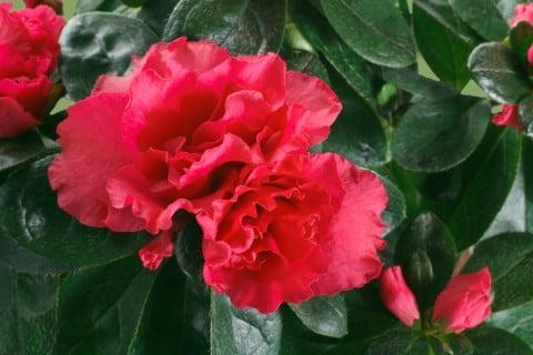 アザレア 赤 花