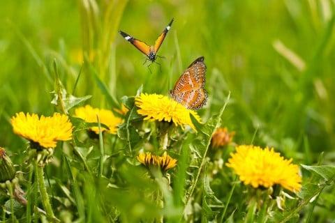 たんぽぽ 草 蝶