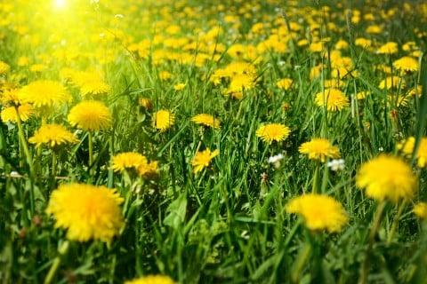 たんぽぽ 草原