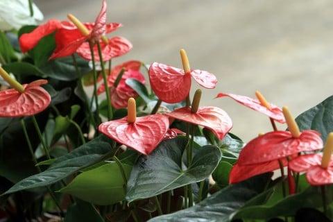 アンスリウム 赤 観葉植物