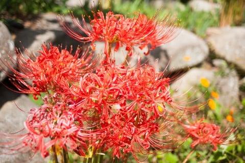 彼岸花 花 ヒガンバナ