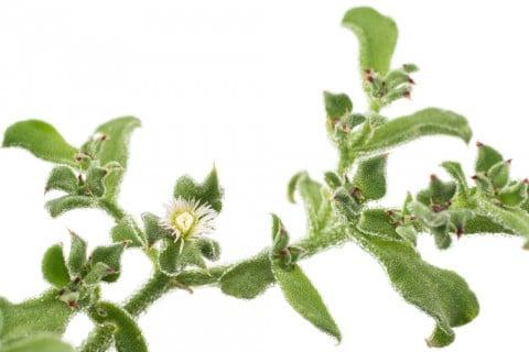 アイスプラント 花