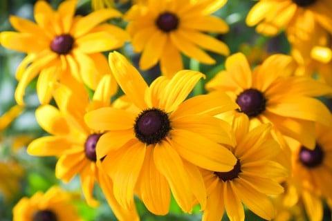ルドベキア 花