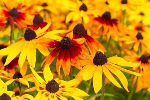 ルドベキア 花畑