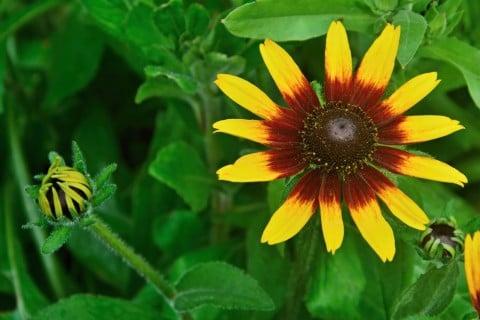 ルドベキア 花 アップ