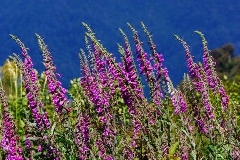 ジギタリス 紫 花 庭 地植え 空