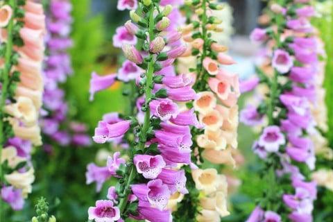 ジギタリス 種類 品種 紫 ピンク