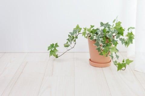 アイビー ヘデラ 鉢植え 風水