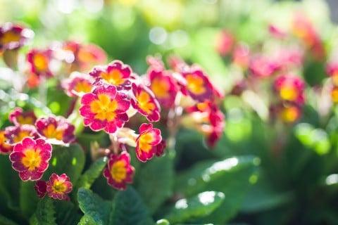 プリムラ 赤 庭