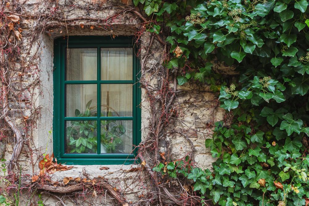 観葉植物 アイビー(ヘデラ)  家