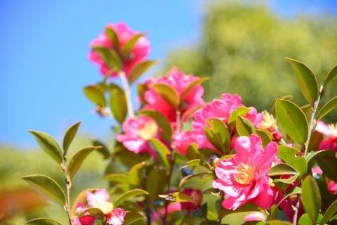 山茶花 ピンク 庭 サザンカ