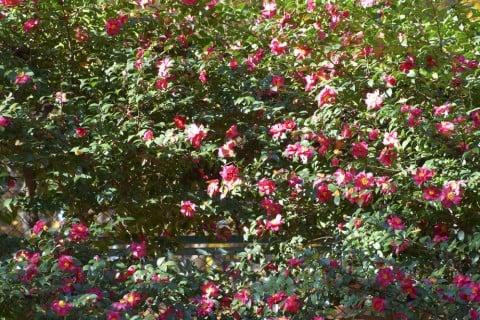 山茶花 庭 いっぱい