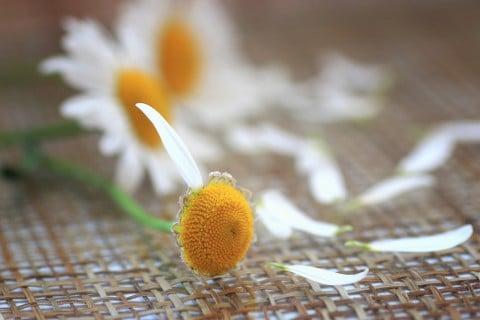 風水 太陽 カモミール 花占い