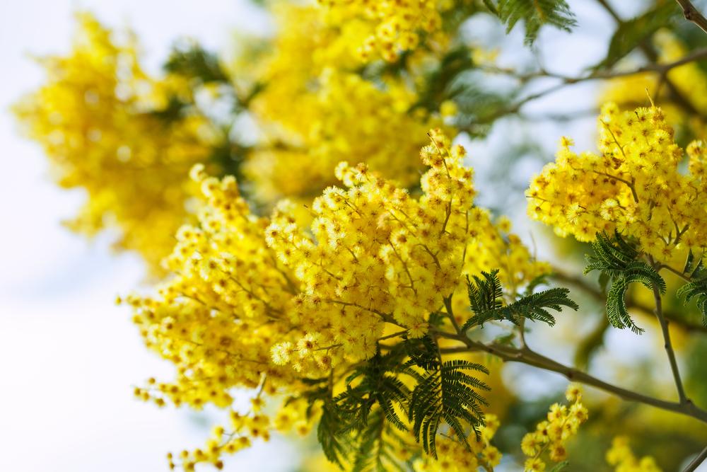 黄色いギンヨウアカシア(銀葉アカシア)の花の画像