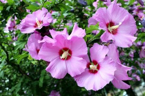 フヨウ 花 地植え 庭木 花木