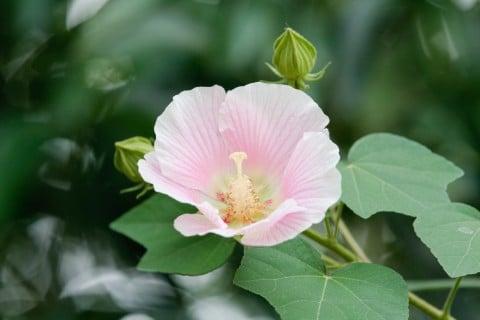 フヨウ 花 芙蓉 庭木
