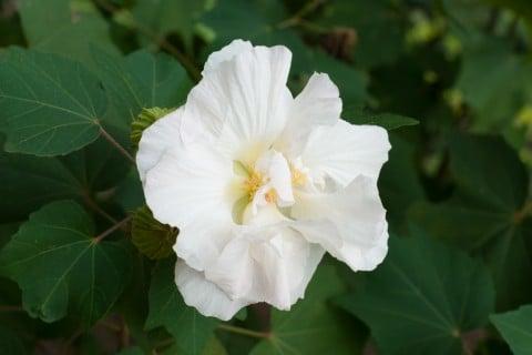 芙蓉 白 花 フヨウ 地植え