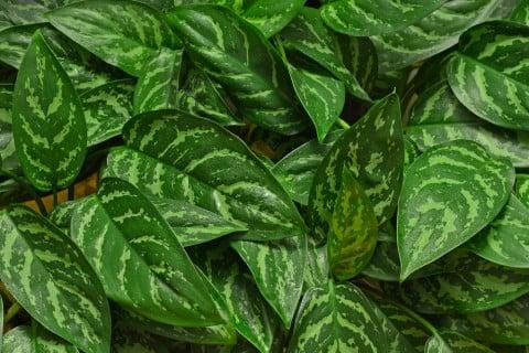 アグラオネマ 葉
