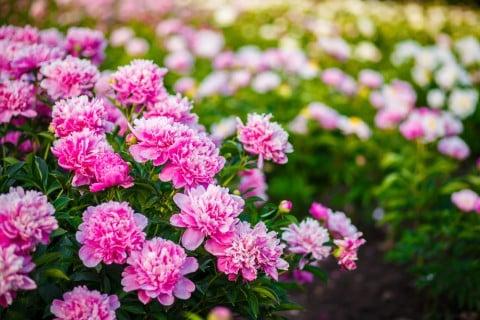 芍薬 花壇 シャクヤク