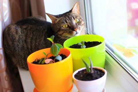 観葉植物 ネコ