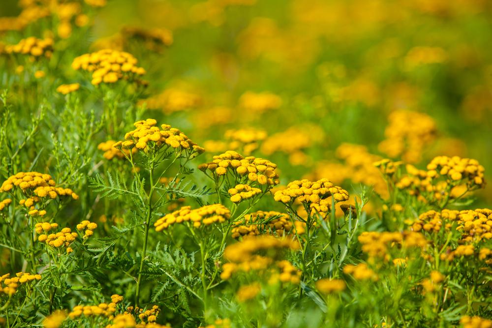 ブタクサの花言葉とは?セイタカアワダチソウとは違う?開花時期