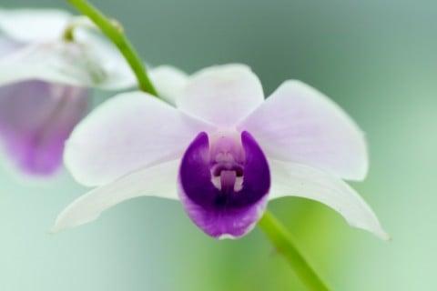 デンドロビウム 花 アップ