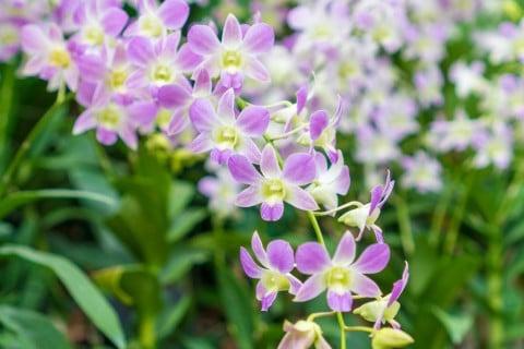 デンドロビウム 花 いっぱい